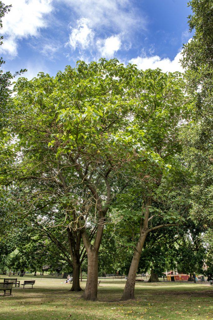 Indian Bean Tree Catalpa Bignoniodes